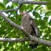 珍しい野鳥28(カンムリワシ)
