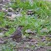 珍しい野鳥29(キガシラシトド)