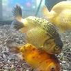 金魚、メダカ新入荷速報‼️