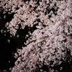 【枝垂桜】染井さんちの吉野くん