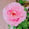 バラが咲いてました♪の画像