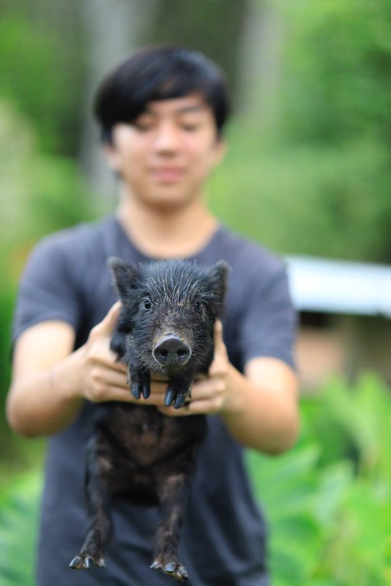ハワイ島の野豚がペットになった。
