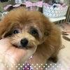ティーカッププードル☆レッド女の子の画像