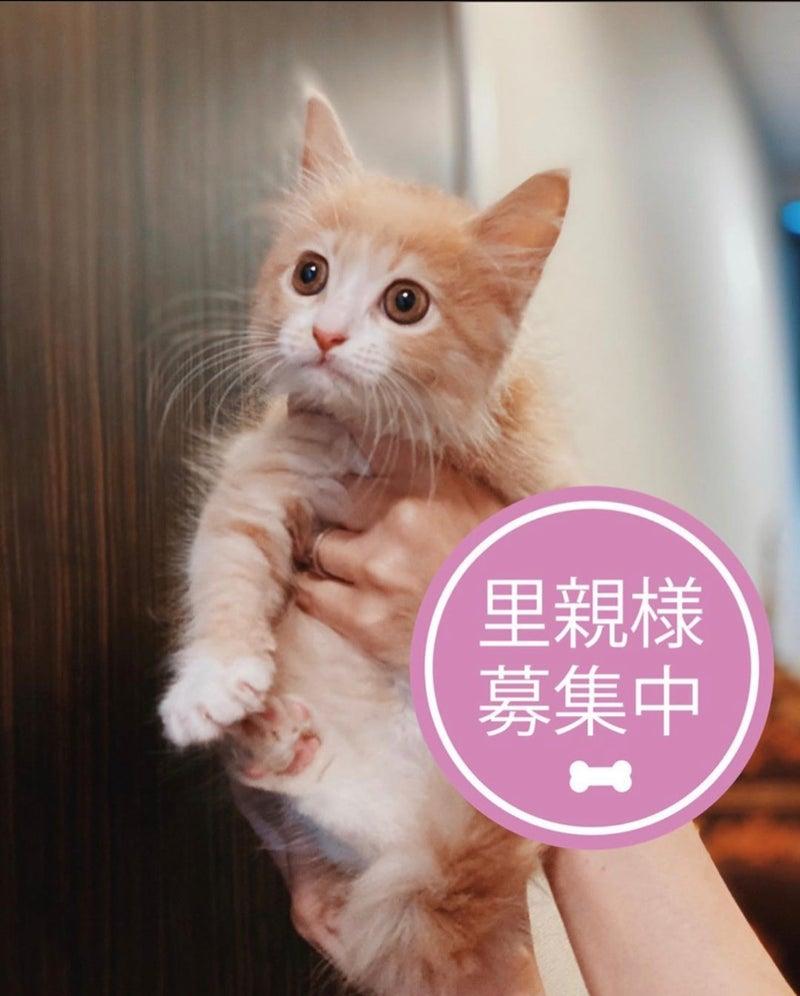 マンチカン 保護 猫