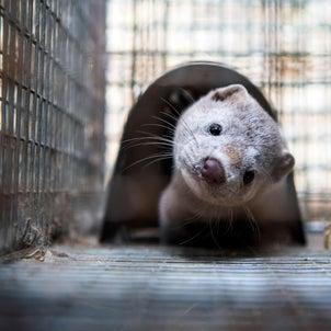 追記:コロナでミンク1万匹が殺処分:食肉産業の危機:ビルゲイツの人工肉ビジネス:日本で放牧禁止?の画像