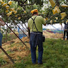 果樹園の応援作業の画像