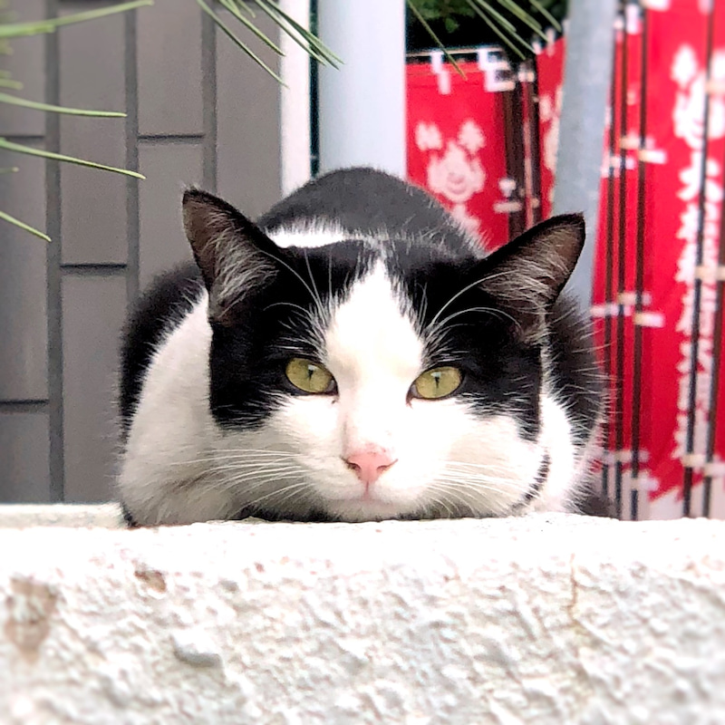 見つめるハチワレ猫のイメージ