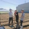 サツマイモ植えの画像