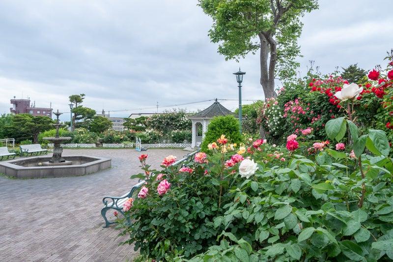 旧イギリス領事館の薔薇が見頃 | 函館の風景を中心に