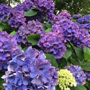 紫陽花の季節の画像
