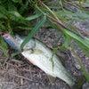 久しぶりに魚に遊んでもらいましたの画像