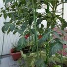 トマト収穫始まりました♪の記事より