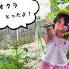 夏野菜の収穫体験の画像