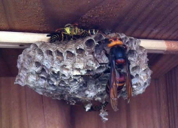 天敵 オオスズメバチ オオスズメバチ (おおすずめばち)とは【ピクシブ百科事典】