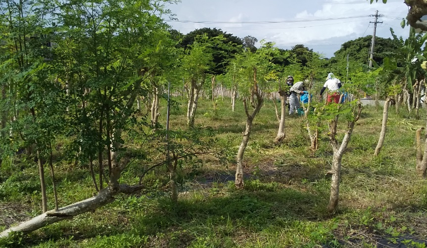 2020年8月|モリンガ栽培活動をテレビ取材いただきました!(沖縄県)の記事より