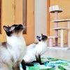 トイボブの猫ちゃん 猫じゃらしの画像