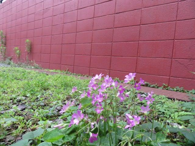 クローバ―咲くや廃車のタイヤ跡