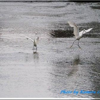 白鷺とコチドリ。