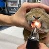 ウサギさんは歯が命!ウサギの歯科治療の画像