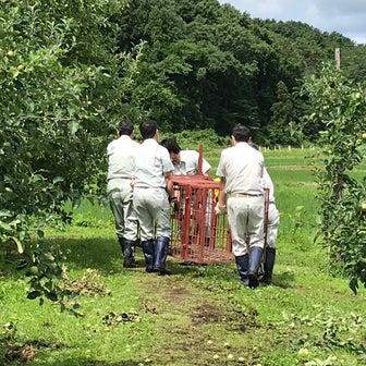 りんご1輪摘果終了