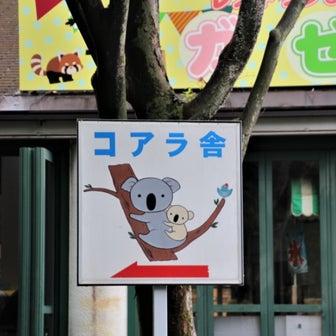 コアラの赤ちゃん「ふく」・埼玉県こども動物自然公園