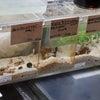海水魚】小型水槽の住人たち。の画像
