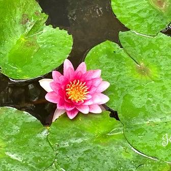 三宮の睡蓮 #神戸 東遊園地