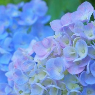 アジサイの花色☆パーソナルカラー・サマー♪