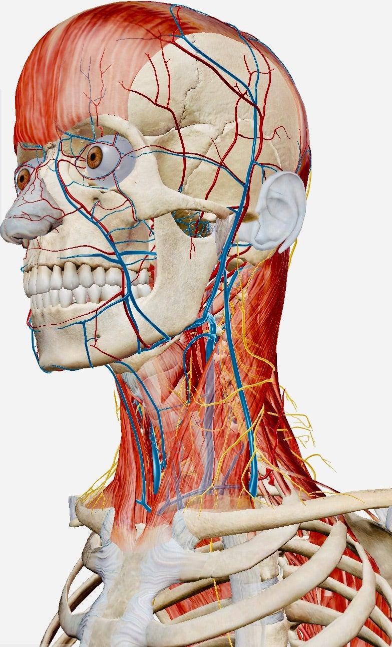 上部頸椎 カイロプラクティック スクール