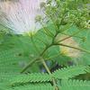 夜になると葉を閉じる・・・合歓の木・・・愛しい花ですね!!の画像