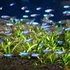 熱帯魚】新入荷と在庫のご紹介!の画像