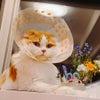 猫のマカロン闘病記Part1の画像