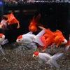 金魚】飯田産の金魚の紹介の画像