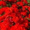 「オリンピック ファイアー」という真っ赤なバラの画像