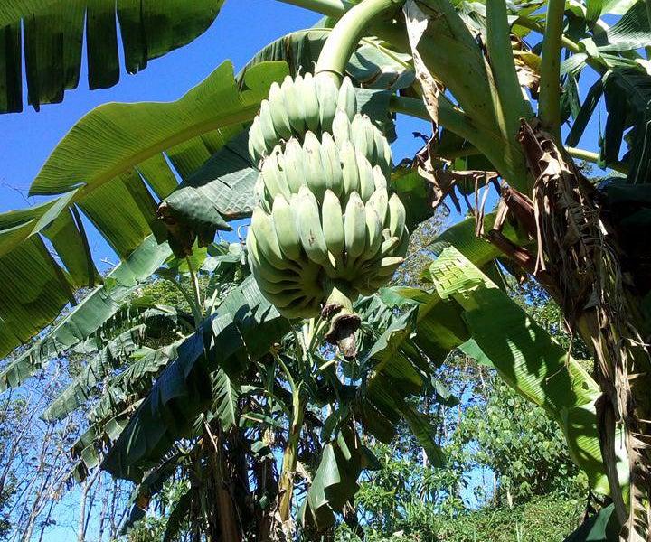 野生の青バナナ
