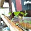 竹式傾斜土槽に植えたケナフの画像