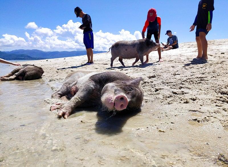 ビーチでごろ寝する豚