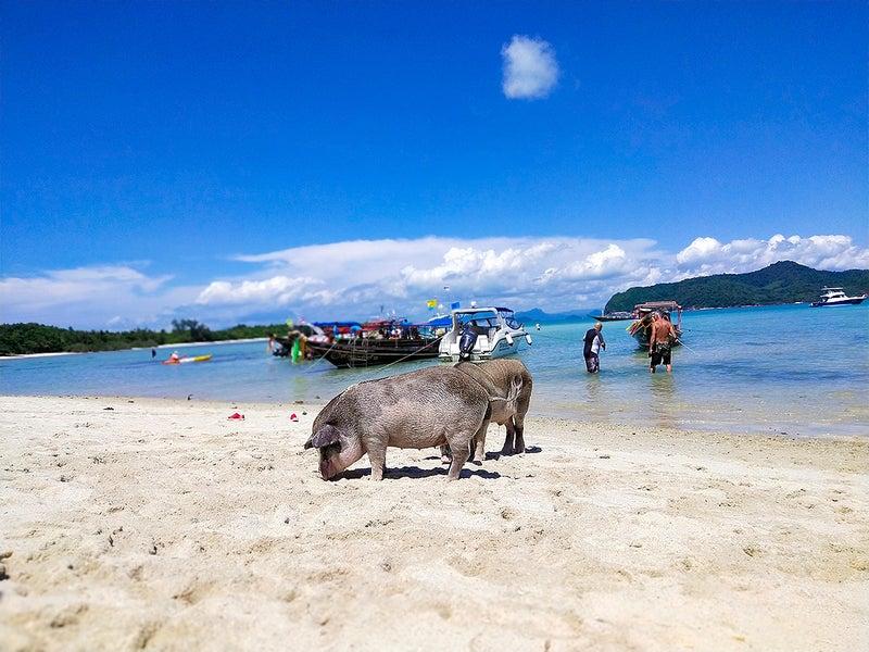 ビーチの豚