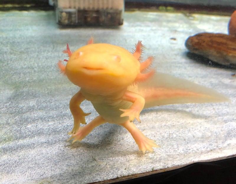 進化 ウーパールーパー