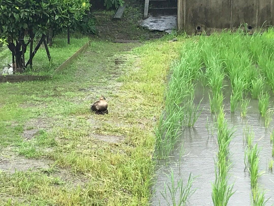 茨木市畑田町 鴨の親子は引越したようです