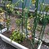 プランター菜園 成長記録 その10の画像
