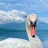 今年も8月は無休で営業します。白鳥が元気にお迎えする山中湖へお越しください。の画像