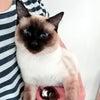 トイボブの猫ちゃん きい君の画像