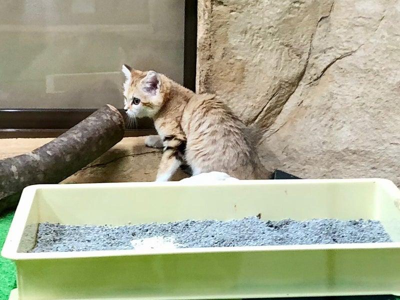 猫 の 赤ちゃん 砂