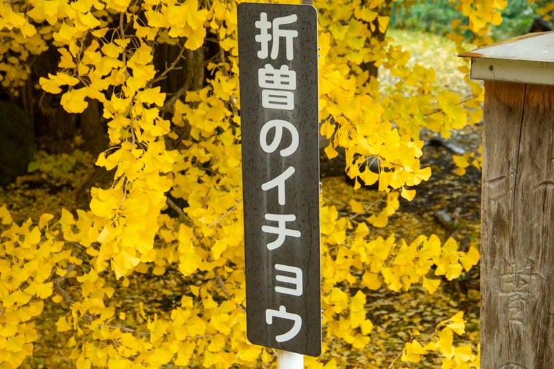 折曽のイチョウ19 26