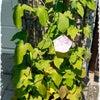 朝顔が咲いた‼️の画像