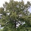 菩提樹の樹がでろ〜ん 笑の画像