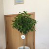 〜観葉植物を育てます〜の画像