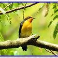 野鳥撮影 キビタキ