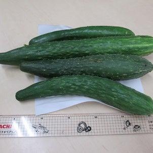 元気に成長中、夏野菜の画像